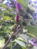 Zacken Sie Blumen-Knospen aus Stockfotografie