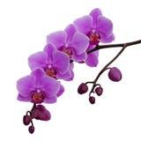 Zacken Sie die Orchideeblumen aus, die auf Weiß getrennt werden Lizenzfreie Stockfotografie