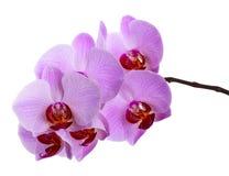 Zacken Sie die Orchideeblumen aus, die auf Weiß getrennt werden Stockbild
