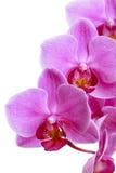 Zacken Sie die Orchideeblumen aus, die auf Weiß getrennt werden Stockfoto