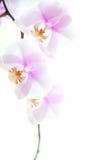 Zacken Sie die Orchideeblumen aus, die auf Weiß getrennt werden Stockfotografie