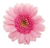 Zacken Sie Gänseblümchenblume aus Lizenzfreie Stockfotos
