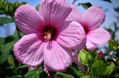 Zacken Sie Hibiscus-Blume aus Stockbild