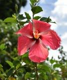 Zacken Sie Hibiscus-Blume aus Lizenzfreie Stockbilder