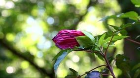 Zacken Sie Hibiscus-Blume aus stock video footage