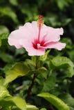 Zacken Sie Hibiscus-Blume aus Lizenzfreies Stockfoto