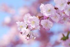 Zacken Sie Kirschblüten aus Stockbild