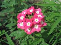 Zacken Sie Primulaaurikel aus Lizenzfreies Stockfoto