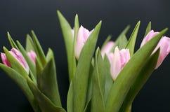 Zacken Sie Tulpen aus Stockbilder