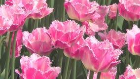 Zacken Sie Tulpen aus stock footage