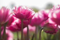 Zacken Sie Tulpen aus Lizenzfreie Stockbilder