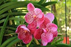 Zacken Sie Vanda-Orchidee aus Lizenzfreies Stockbild