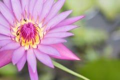 Zacken Sie Waterlily aus Stockfotos