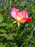 Zackige rosa Rose Lizenzfreie Stockfotos