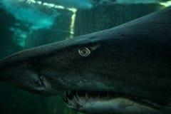 Zackiger Zahn-Haifisch Lizenzfreie Stockfotos