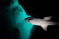 Zackiger Zahn-Haifisch in der Aliwal Masse, Südafrika lizenzfreie stockbilder