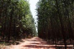 Zaczarowany Flores eukaliptus Fotografia Royalty Free