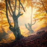 Zaczarowany jesień las w mgle w wieczór fotografia royalty free