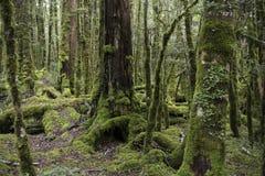 Zaczarowany las, Nowa Zelandia obrazy stock