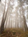 Zaczarowany mgłowy las sosny Obraz Royalty Free