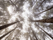 Zaczarowany mgłowy las sosny Fotografia Stock