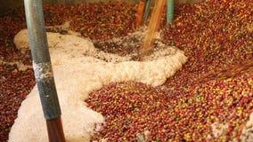 Zaczynać cleaning proces z kawowymi fasolami ostatnio dojrzałymi od drzew, kawa proces zdjęcie wideo