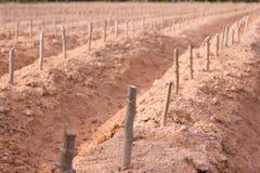 Zaczyna hodowlanego kasawy lub manioka rośliny pole Obrazy Stock