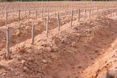 Zaczyna hodowlanego kasawy lub manioka rośliny pole Obraz Royalty Free