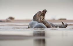 Siwieje foka koperczaki Obrazy Royalty Free