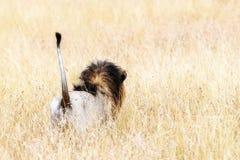 Zadek lew w równinach Kenja Zdjęcia Stock