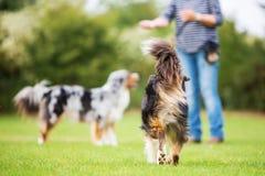 Zadek pies który chodzi kobieta Obrazy Royalty Free