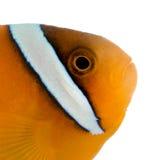 Zadel anemonefish - ephippium Amphiprion Royalty-vrije Stock Afbeelding