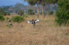 Zadel gefactureerde ooievaar in het koppelen dans in Tanzania Afrika Royalty-vrije Stock Fotografie
