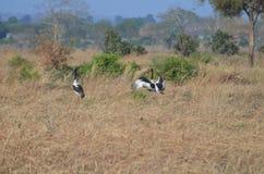 Zadel gefactureerde ooievaar in het koppelen dans in Tanzania Afrika Stock Afbeeldingen