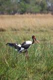 Zadel-gefactureerde Ooievaars in Botswana, Zuid-Afrika Royalty-vrije Stock Afbeelding