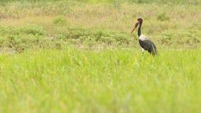 Zadelbekooievaar, Saddle-billed Stork, Ephippiorhynchus senegalensis stock photography