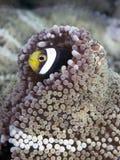 Zadeldak clownfish Royalty-vrije Stock Afbeelding