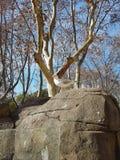 Zadeldak op een rots Stock Foto's