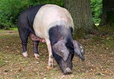 Zadeldakvarken stock foto's