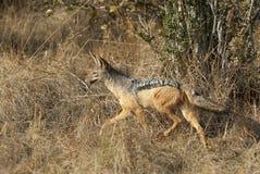Zadeljakhals, поддерживаемый Черно jackal, mesomelas волка стоковые фото