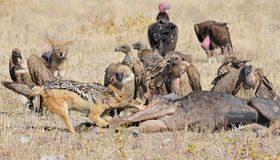 Zadeljakhals, Popierający szakal, Canis mesomelas zdjęcia stock