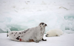 Zadelrobkoe en pasgeboren jong op ijs Royalty-vrije Stock Fotografie