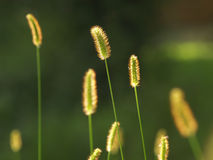 Zaden 2 van het gras Stock Foto's