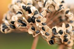 Zaden en Zaadhoofden van Knoflookbieslook - Allium Tuberosum royalty-vrije stock fotografie
