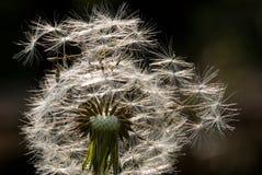 Zaden van de bloem van de Paardebloem Royalty-vrije Stock Foto's