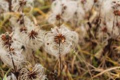 Zaden van Solitaire integrifolia van clematissenclematissen met valschermen in een de herfstweide stock foto
