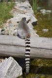 zadka lemur s obrazy royalty free
