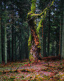 Zadna Polana urtids- skog Arkivbilder
