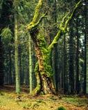 Zadna Polana urtids- skog Arkivbild