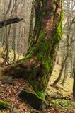 Zadna Polana urtids- skog Arkivfoto
